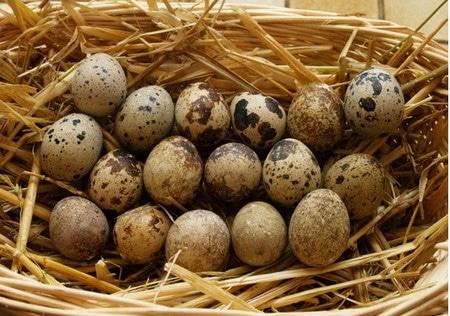 яйца перепелок
