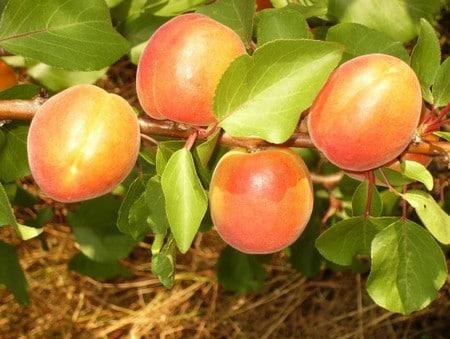 полезный абрикос